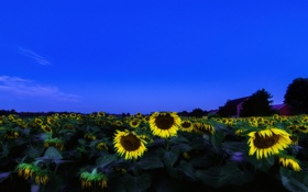 Обои подсолнухи, пейзаж, закат