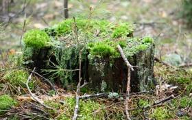 Обои мох, пень, прогулка, природа, веточки, лес, макро