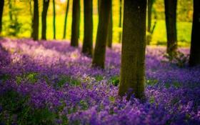 Картинка лес, солнце, свет, деревья, цветы, природа, колокольчики