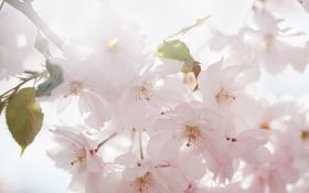 Обои сакура, весна, цветы