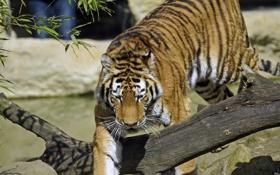 Обои кошка, тигр, коряга, амурский
