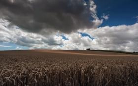 Картинка поле, небо, природа, колосья