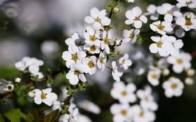 Обои весна, цветение, зелень, лепестки, листва, листья, белые