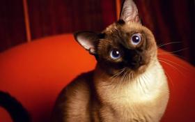 Обои глаза, взгляд, Кот, красный фон, Сиамский