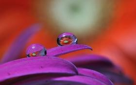 Обои цветок, вода, капли, отражение, лепестки