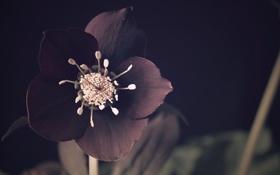 Обои цветок, природа, Helleborus