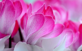 Обои цветы, природа, лепестки