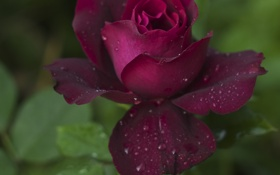 Картинка капли, роза, лепестки, бордовая