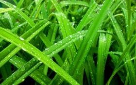 Обои зелень, трава, роса, Макро