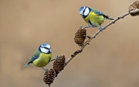 Обои птица, синица, ветка, шишки, пара