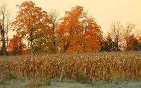 Картинка поле, осень, природа, кукуруза