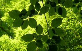 Обои сочная, лето, зелень, свет, ветка, солнце, листики
