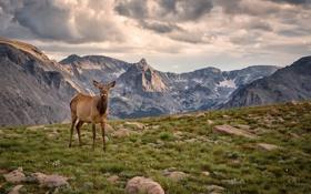 Обои трава, облака, горы, вершины, пастбище, лось, плато