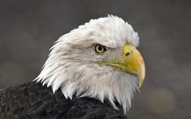 Картинка природа, фон, орёл