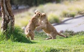 Картинка игра, борьба, пара, малыши, дикие кошки, львята, детеныши