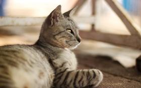 Обои кошка, кот, серый, шерсть
