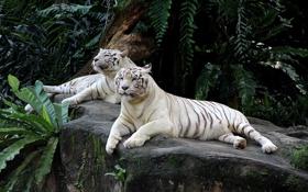 Обои животные, пара, тигры