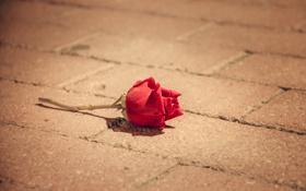 Картинка цветок, улица, роза