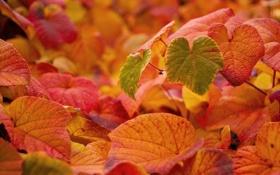 Обои листья, осень, макро