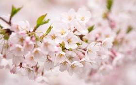 Картинка весна, цветение, розовая, лепестки, размытость, сакура, ветка