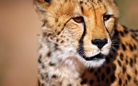 Обои гепард, South Africa, Южная Африка, Cheetah, wild animal, Калахари, Kalahari desert