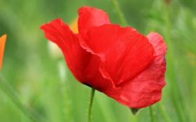 Обои цветок, мак, зелень, макро, красный