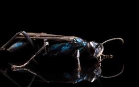 Картинка insect, strobist, Blue Mud Dauber