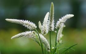 Картинка лето, макро, цветы, размытость, колоски, белые, соцветия