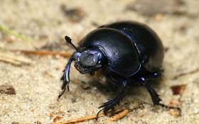 Обои black, beetle, insect