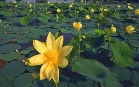 Обои листья, пруд, лилии, жёлтые