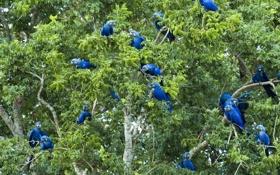 Картинка листья, деревья, попугай, Бразилия, Пантанал, большой синий ара