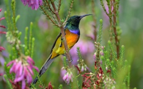 Обои птица, нектарница, разноцветная, цветы
