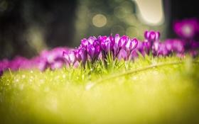 Картинка цветы, природа, луг, крокусы, травка