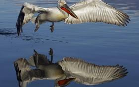 Обои вода, природа, птица, пеликан