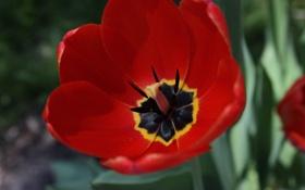 Обои цветок, красный, тюльпан, лепестки