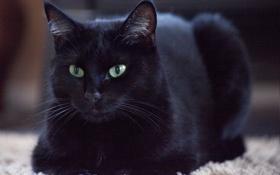 Картинка кошка, глаза, кот, черный, шерсть