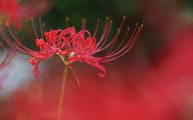 Обои цветок, макро, красный, radiata, Lycoris