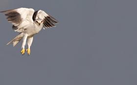 Обои полет, птица, крылья, охота, коршун