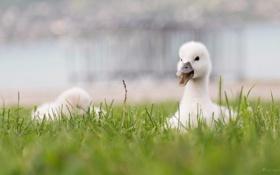 Картинка малыш, лебедь, травка