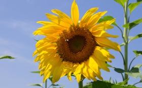 Картинка цветок, небо, подсолнух, лепестки