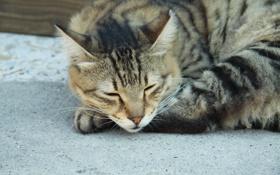 Обои кошка, нос, полосатый