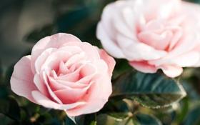 Обои цветы, розы, лепестки, розовые