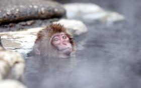 Картинка Japan, Nagano, Snow monkey, Jigokudani hot-spring