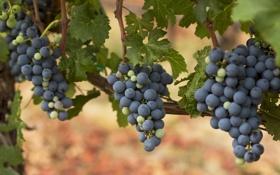 Картинка лоза, виноград, гроздья