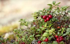 Обои природа, куст, листочки, красные, ягоды