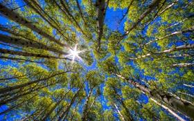 Картинка небо, солнце, деревья, берёзы
