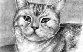 Обои кошка, глаза, усы, животное, рисунок, шерсть, карандаш