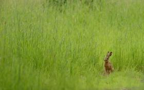 Обои лето, природа, заяц