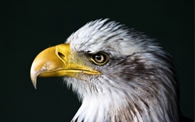 Картинка глаз, птица, орел, хищник, голова, перья, клюв
