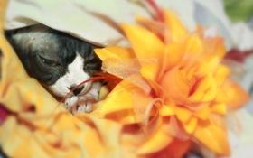 Обои цветок, лапки, Кошка, канадский сфинкс